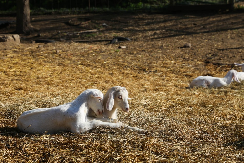 Baby goats at Honey Creek Creamery in the Loess Hills of Iowa.