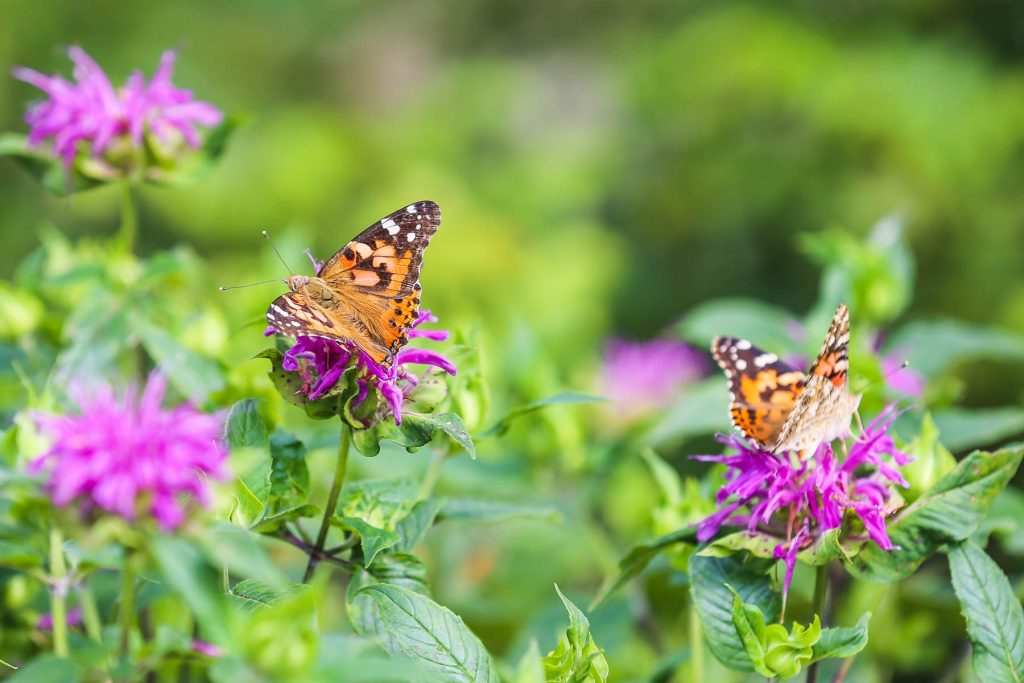 Painted Lady butterflies on bee balm.