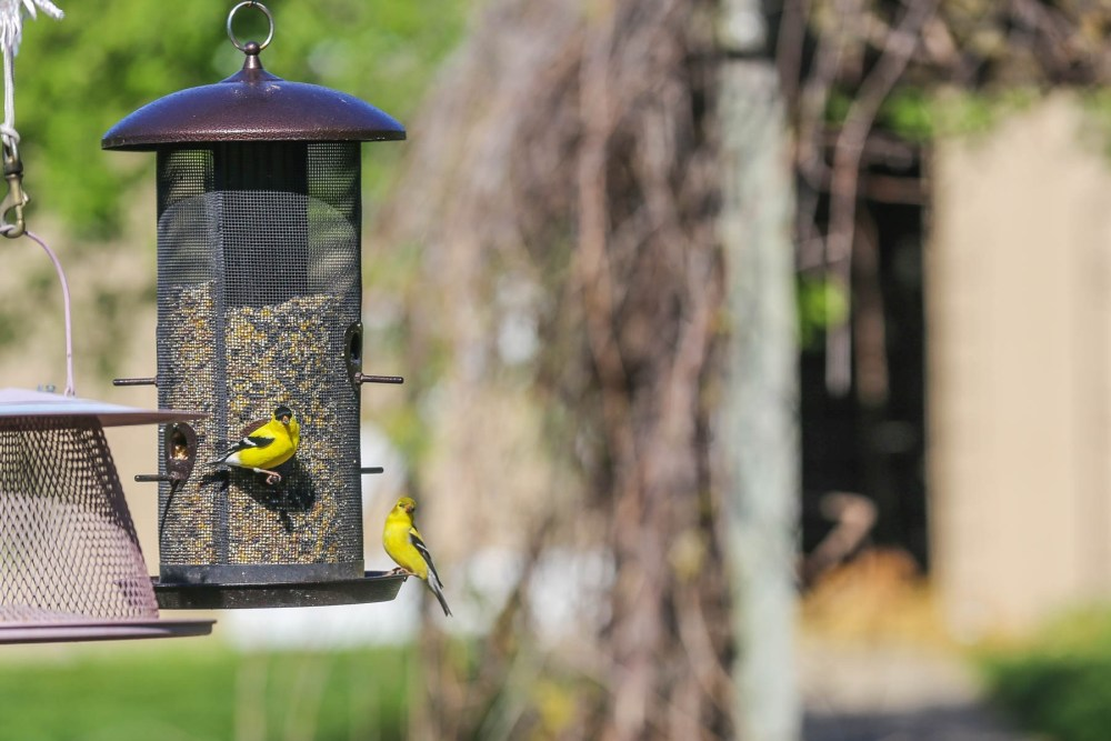 Male and female goldfinch pair.