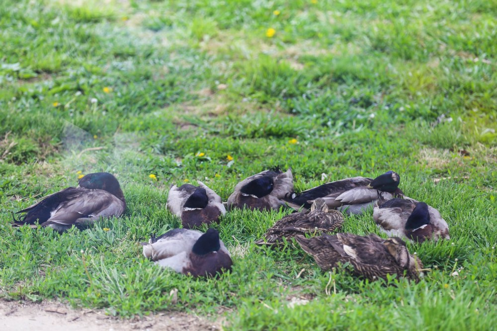 Rouen ducks laying in the grass.
