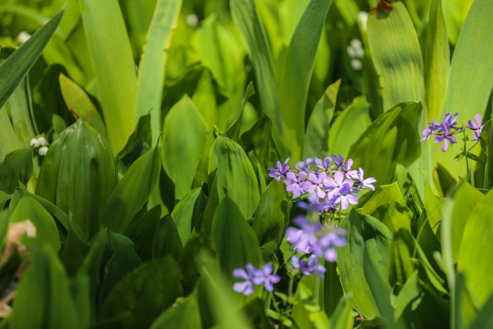 Woodland Phlox in Lily of the Valley.