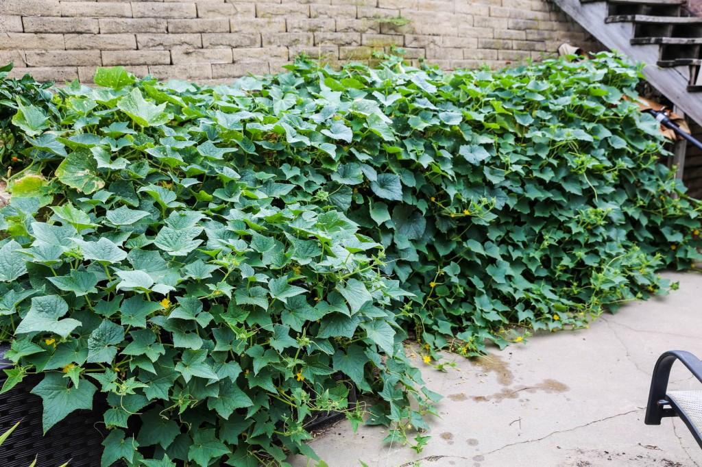 Wall of cucumber plants.