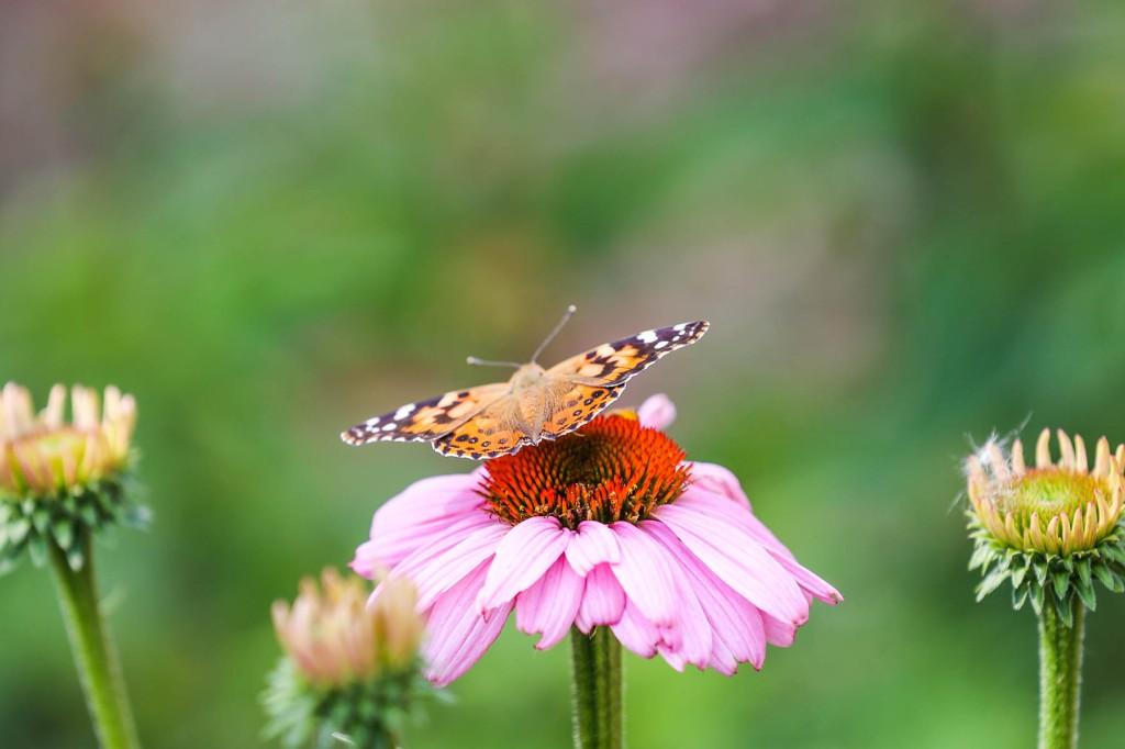 Painted Lady butterfly on Purple Coneflower.